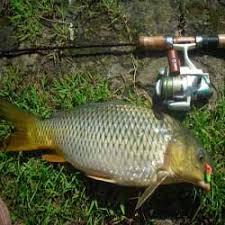 cara membuat umpan mancing ikan mas harian umpan ikan mas empang harian murah meriah namun sangat jitu resep