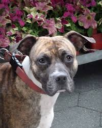 boxer dog reverse brindle brindle boxer dog begging photo bloggie doggie