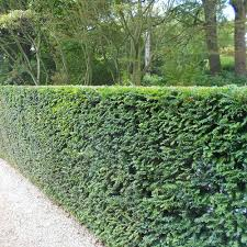 Garden Hedges Types English Yew 80 100cm Root Ball Hedges Direct Uk
