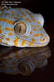 Seeking Lizard A Tokay Gecko Gekko Gecko