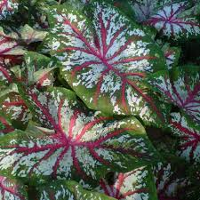 tapestry caladium bulbs from park seed