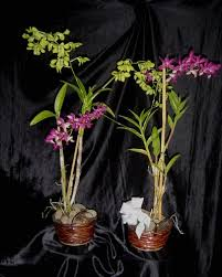 dendrobium orchid dendrobium orchid plant in lihue hi flowers forever llc