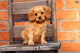 Do Brittany Spaniels Shed by Cavapoo Dog Breed Information Buying Advice Photos And Facts