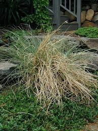 cut back ornamental grass or you ll a nightmare