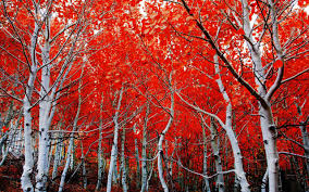 birch forest in autumn full hd wallpaper and background