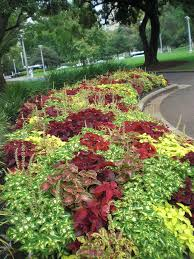 coleus plants tips for caring for coleus
