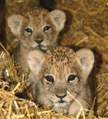 lions for sale lion zooborns