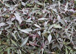 ornamental sweet potato vines make carpet of color mississippi