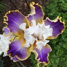 Iris by Photo Of Tall Bearded Iris Iris U0027wild Angel U0027 Uploaded By Njiris