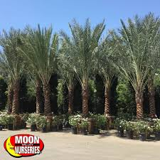 date palm palm tree moon valley nurseries