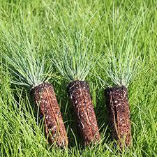 weyerhaeuser southern seedlings
