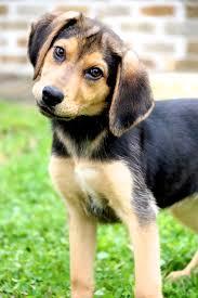 australian shepherd husky puppy best 25 beagle shepherd mix ideas on pinterest australian