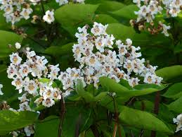 free images branch blossom white leaf flower green produce