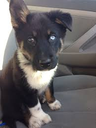 australian shepherd husky puppy 41 best pups images on pinterest animals husky mix and puppy love