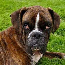 boxer dog rescue atlanta boxer rescue available boxers
