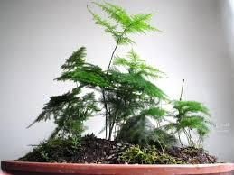 scented leaf saikei with asparagus fern