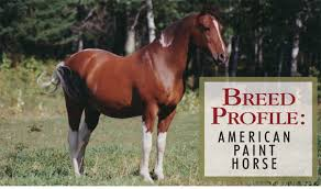 american paint horse breed profile