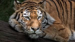 Popular Wallpaper by Wallpaper Siberian Tiger Amur Tiger Hd Animals 3907