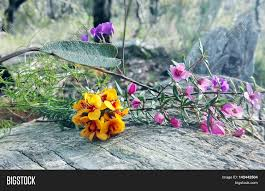 australian native plants with purple flowers australian native floral bouquet image u0026 photo bigstock