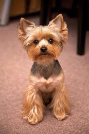 haircuts for yorkie dogs females yorkie haircut dogs pinterest yorkie haircuts haircuts and