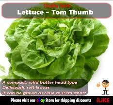 lettuce tom thumb mini 100 seeds minimum vegetable garden