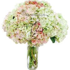 Bulk Hydrangeas Antique Light Pink Hydrangeas Bulk Hydrangeas