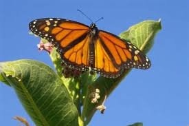 Monarch Migration Map Monarch Butterflies May Take Five Generations To Migrate To Us