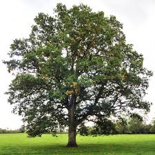 White Oak Tree Drawing 45 Best Drawing Inspirations Nature Images On Pinterest