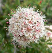 native plant list list of medicinal plants of the american west wikipedia