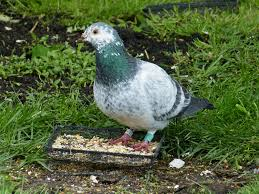 How To Get Rid Of Pigeons Off My Roof by Racing Pigeon In My Garden All Creatures Wildlife The