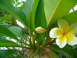 plumeria flower how to quality plumeria flowers for a 7 steps