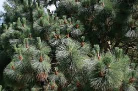 free stock photos rgbstock free stock images conifer needles