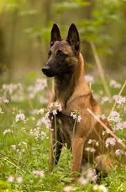 belgian malinois competition malinois dog breeds beastly dogs pinterest