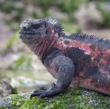 iguana island marine iguana national geographic