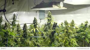 static shot of field of marijuana plants with buds at indoor