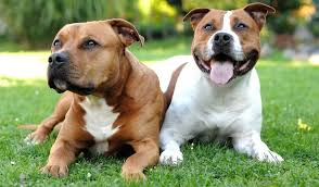 american pit bull terrier history staffordshire bull terrier breed information photos history and care
