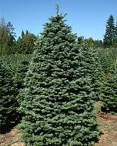 fresh cut christmas trees green valley christmas trees