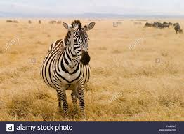 Floor Dry by A Pregnant Zebra Crosses The Floor Of Ngorogoro Crater During The