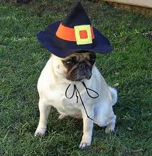 pug witch costume on we it