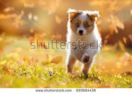 running with australian shepherd puppy puppy running stock images royalty free images u0026 vectors