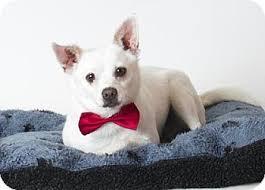 american eskimo dog adoption rancho cordova ca chihuahua american eskimo dog mix meet