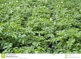 vegetable garden with flowering potato plants stock photo image