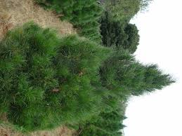 sierra redwood tree is a u0027fleecy u0027 looking tree with a light green