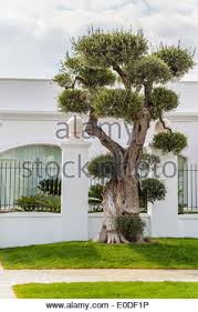 big olive tree in greece stock photo royalty free image