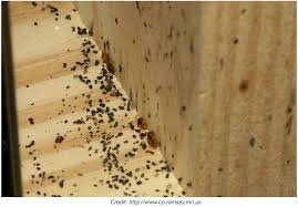 What Does Bed Bugs Eggs Look Like Pictures Of Bed Bug At Bed Bug Supply