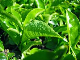 Teh Hijau manfaat teh hijau healthy living