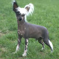 american eskimo dog short hair the 25 smallest dog breeds american kennel club