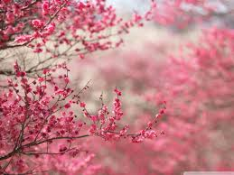 cherry blossom tree anime wallpaper