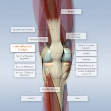 Picture Of Human Knee Muscles Lateral Femoral Condyle On Educational Knee Model