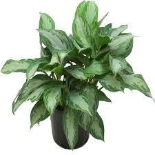 plants that grow in low light delray plants 9 1 4 in aglaonema silver bay in pot 10aglo the